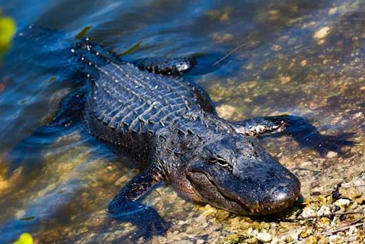 Alligator relaxing in the shore