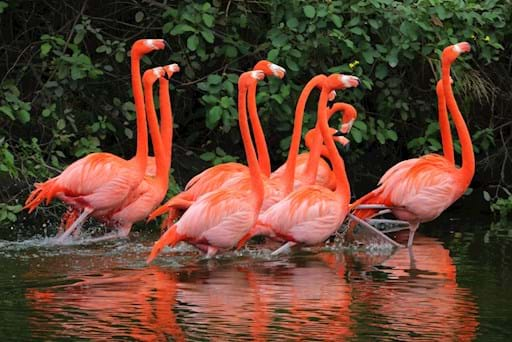 Flamingos swimming in the wetland of Everglades