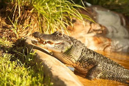 Alligator in the Everglades Sawgrass Park