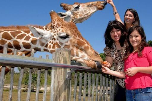 Girls feeding giraffes at the Miami Zoo