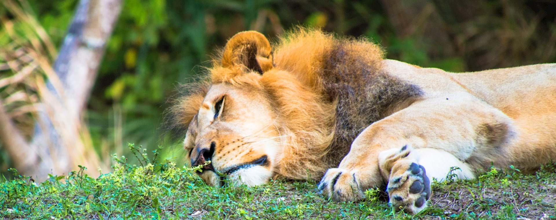 Lion having a rest